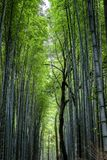 Bella foresta di bambù luminosa con i tronchi alti fotografie stock libere da diritti