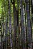 Bella foresta di bambù luminosa con i tronchi alti immagine stock
