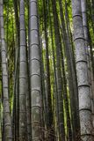 Bella foresta di bambù luminosa con i tronchi alti fotografia stock