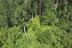 Bella foresta di estate in montagne di Altai Fotografia Stock Libera da Diritti