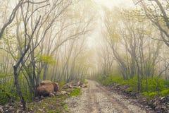 Bella foresta di verde della foschia Fotografie Stock