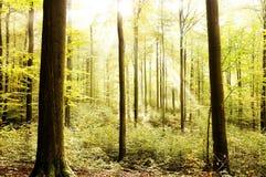 Bella foresta luminosa fresca Immagine Stock Libera da Diritti