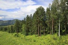 Bella foresta nelle montagne di Altai Fotografia Stock Libera da Diritti