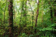 Bella foresta verde Fotografia Stock Libera da Diritti
