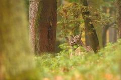 Bella foto animale La natura selvaggia della repubblica Ceca Immagini Stock Libere da Diritti