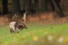 Bella foto animale La natura selvaggia della repubblica Ceca Fotografie Stock