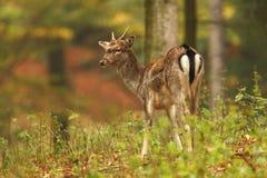 Bella foto animale La natura selvaggia della repubblica Ceca Fotografia Stock Libera da Diritti