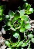 Bella foto del fiore di sempervivum immagini stock