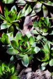 Bella foto del fiore di sempervivum fotografia stock libera da diritti
