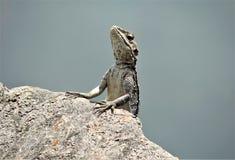 Bella foto del potrait del camaleonte dalle viste laterali fotografia stock