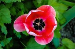 Bella foto del tulipano rosa immagine stock