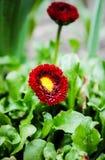 Bella foto della margherita rossa fotografie stock libere da diritti