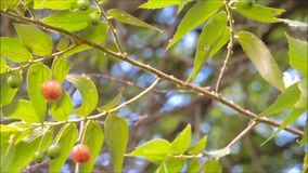 Bella frutta rossa di Capulin o del muntingia calabura della ciliegia giamaicana su ondeggiamento del ramo in una brezza calda de archivi video