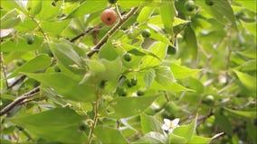 Bella frutta rossa di Capulin o del muntingia calabura della ciliegia giamaicana su ondeggiamento del ramo in una brezza calda de video d archivio
