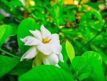 Bella gardenia bianca sull'albero del ramo Fotografia Stock