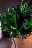 Bella gemma del nero dell'aloe in un vaso di fiore Fotografia Stock