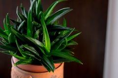 Bella gemma del nero dell'aloe in un vaso di fiore Immagini Stock