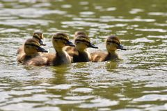 Bella giovane anatra sulla superficie di uno stagno Fauna selvatica un giorno di estate soleggiato Giovane uccello acquatico immagini stock libere da diritti
