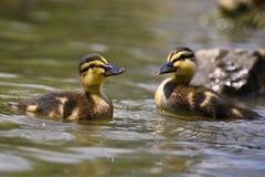 Bella giovane anatra sulla superficie di uno stagno Fauna selvatica un giorno di estate soleggiato Giovane uccello acquatico fotografia stock