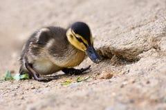 Bella giovane anatra sulla superficie di uno stagno Fauna selvatica un giorno di estate soleggiato Giovane uccello acquatico fotografia stock libera da diritti