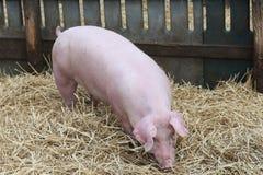 Bella giovane scrofa del maiale che sta sul fieno fresco alla bio- azienda agricola rurale Fotografia Stock Libera da Diritti