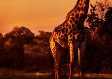 Bella giraffa alta Fotografia Stock Libera da Diritti