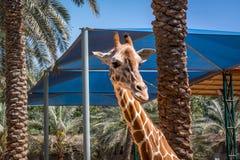Bella giraffa fra le palme la giungla immagini stock