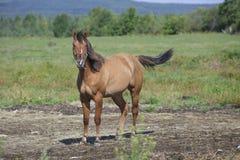 Bella giumenta quarta del cavallo in un campo Fotografia Stock