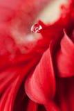 Bella goccia sul petalo Immagini Stock