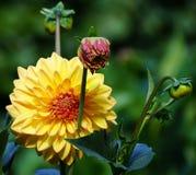 Bella grande Dahlia Flower Immagini Stock