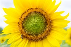 Bella grande fine del fiore del sole su Immagine Stock Libera da Diritti