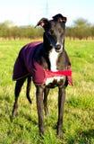 Bella Greyhound photos libres de droits