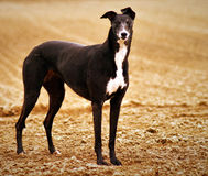 Bella Greyhound. In the farmers field Royalty Free Stock Photos