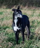 Bella Greyhound. In the paddock Stock Images