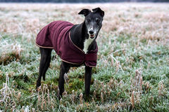 Bella Greyhound. In the paddock wearing a coat Stock Image