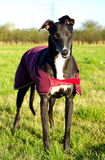 Bella Greyhound. Wearing a coat in the paddock Royalty Free Stock Photos
