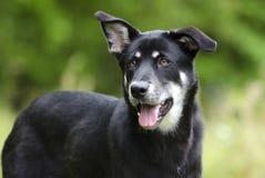 Happy Husky mix breed dog, pet rescue adoption photography stock photo