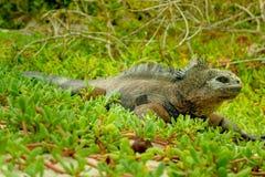 Bella iguana che riposa nella spiaggia Santa Cruz Fotografia Stock