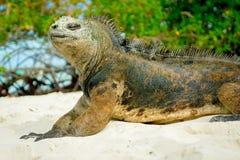 Bella iguana che riposa nella spiaggia Santa Cruz Immagini Stock