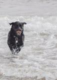 Bella il labrador nero Fotografia Stock