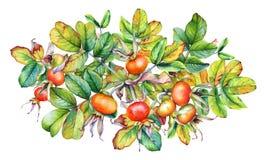 Bella illustrazione dell'acquerello dei rami del cinorrodonte su fondo bianco immagini stock libere da diritti