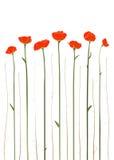 Bella illustrazione rossa dei papaveri Fotografia Stock Libera da Diritti