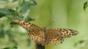 Bella immagine colorata della farfalla della natura selvaggia in natura immagini stock libere da diritti