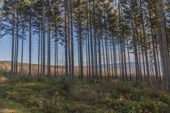 Bella immagine degli alberi con i loro tronchi molto lunghi, boscaglia ed erba verde immagini stock