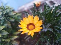 Bella immagine del fiore del sole con le foglie verdi nel giardino immagine stock libera da diritti