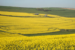 Bella immagine del paesaggio del raccolto maturo del canola del seme di ravizzone in primavera Immagini Stock Libere da Diritti