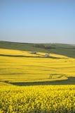 Bella immagine del paesaggio del raccolto maturo del canola del seme di ravizzone in primavera Immagine Stock