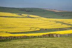 Bella immagine del paesaggio del raccolto maturo del canola del seme di ravizzone in primavera Immagine Stock Libera da Diritti