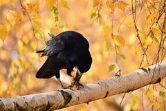 Bella immagine di un uccello - raven/corvo in natura di autunno (Frugilegus di corvo) Fotografie Stock Libere da Diritti