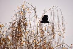 Bella immagine di un uccello - raven/corvo in natura di autunno (Frugilegus di corvo) Fotografia Stock